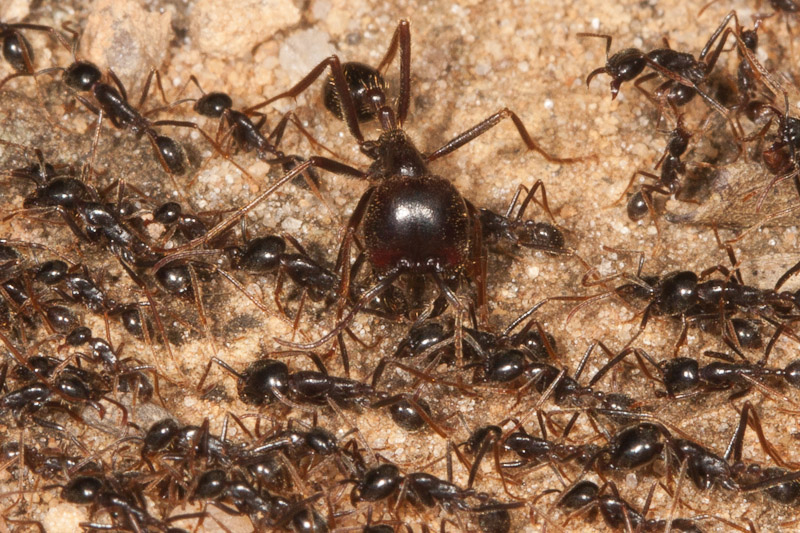 Worker Ant Vs Soldier Ant Subjects Army Ants : N...