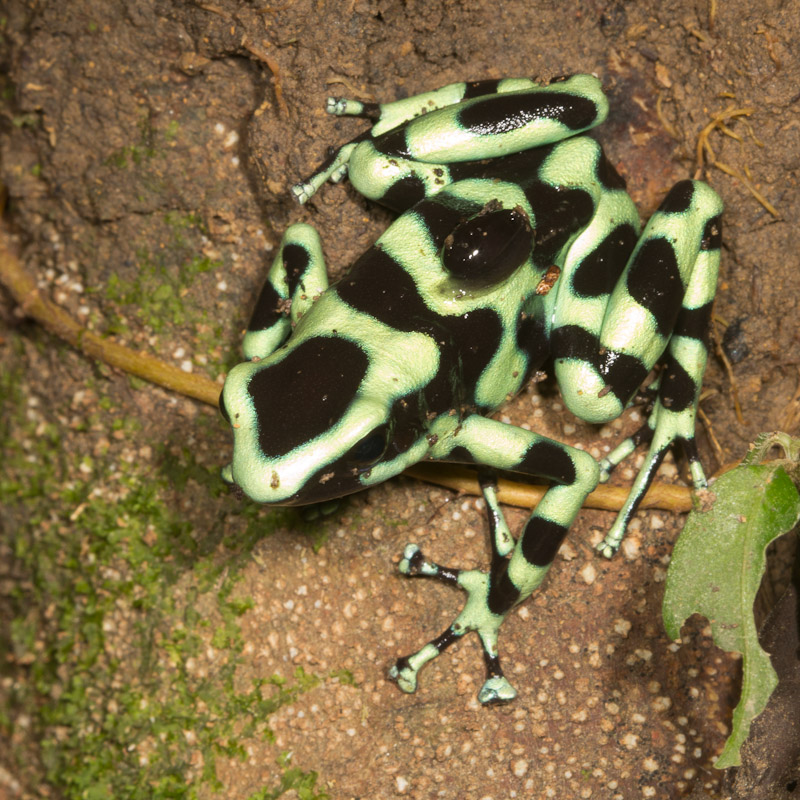 Green and Black Poison Dart Frog : Nature Closeups