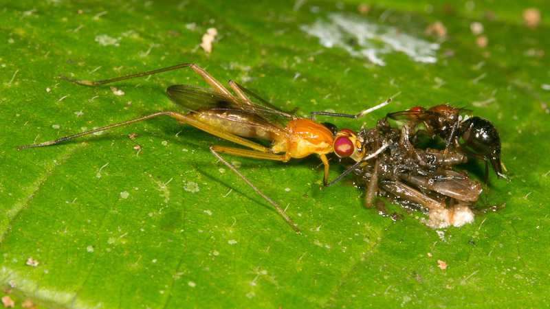 phorid fly and leaf cutter ant relationship quiz