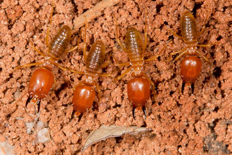 4 termites